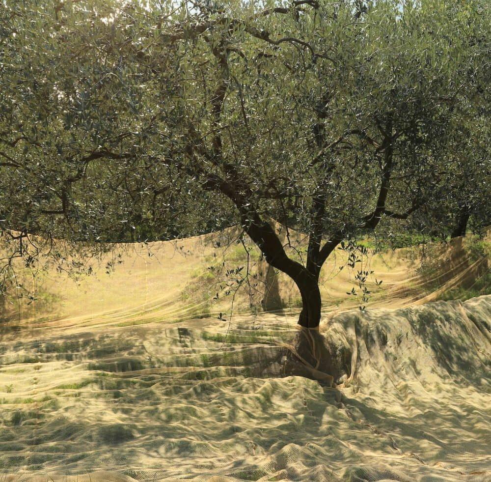 Rete raccolta olive 2